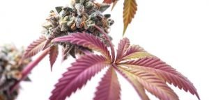pink cannabis leaves