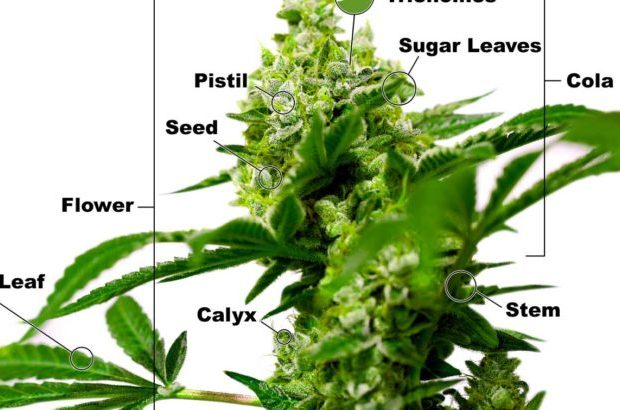 Anatomy of marijuana plant