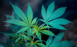 Green Cannabis Roberto Valdivia