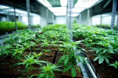 TriGrow Cannabis Magazine