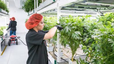 Cannabis Workers Respritory Risk