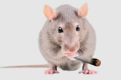 Rat Cannabis Study